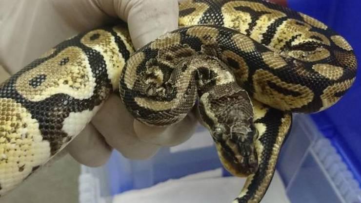 Die Bündner Behörden haben in einem Einfamilienhaus im Misox mehrere Dutzend vernachlässigte exotische Tiere beschlagnahmt. Darunter ist auch diese Schlange. (Bild: Kantonspolizei Graubünden)