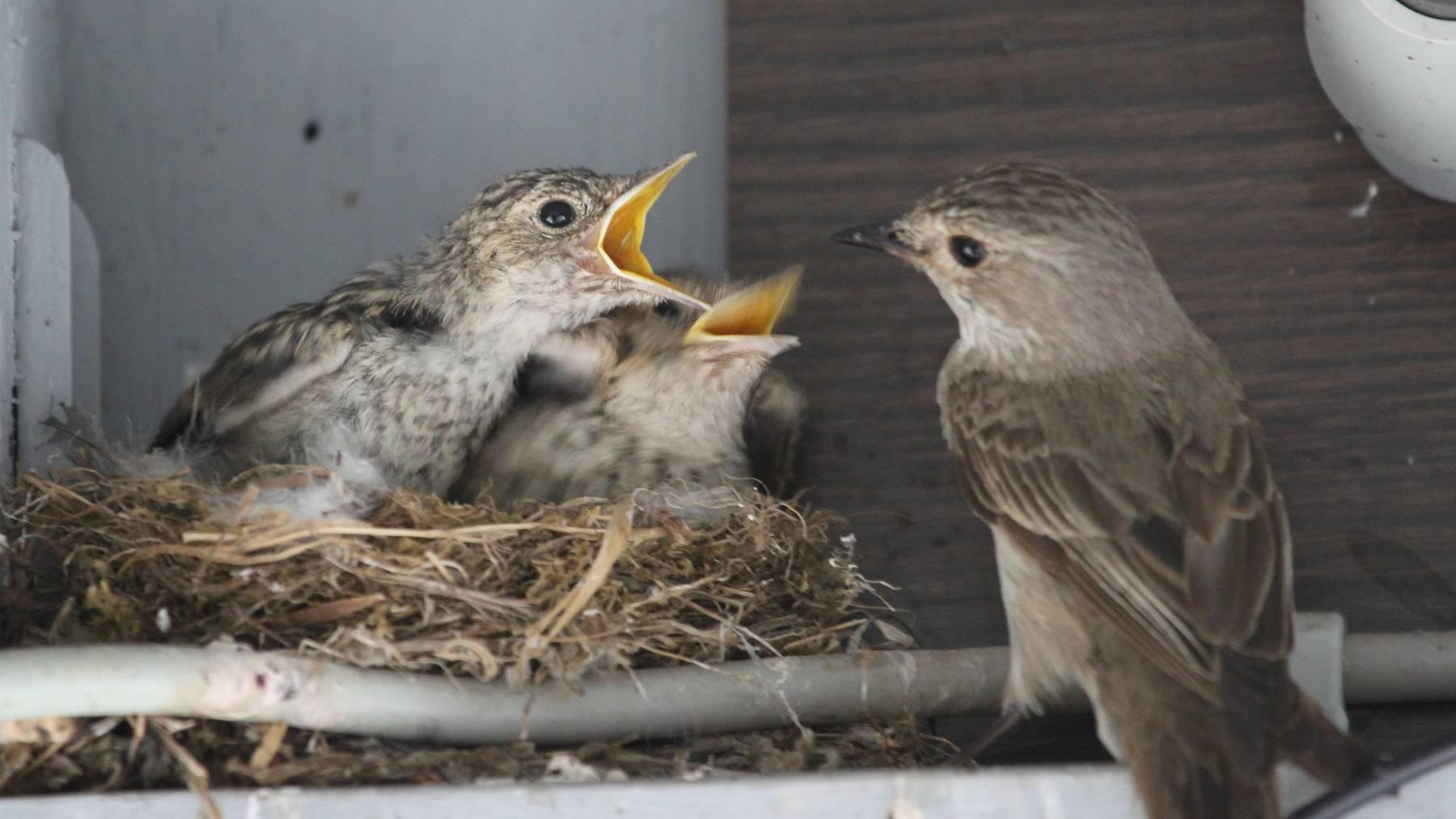 Vögel nisten oft in der Nähe des Menschen.
