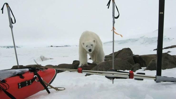 Weil sie wegen der Klimaerwärmung noch nicht von Eisschollen aus Robben jagen können, sind russische Eisbären hungrig. Deshalb überwinden sie ihre natürliche Scheu vor Menschen und suchen Dörfer heim. Manchenorts werden Schulbusse eingesetzt, um Kinder zu schützen. (Archivbild)