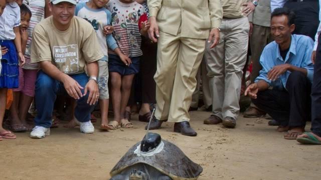 Die Schildkröte mit dem Sender auf dem Rücken