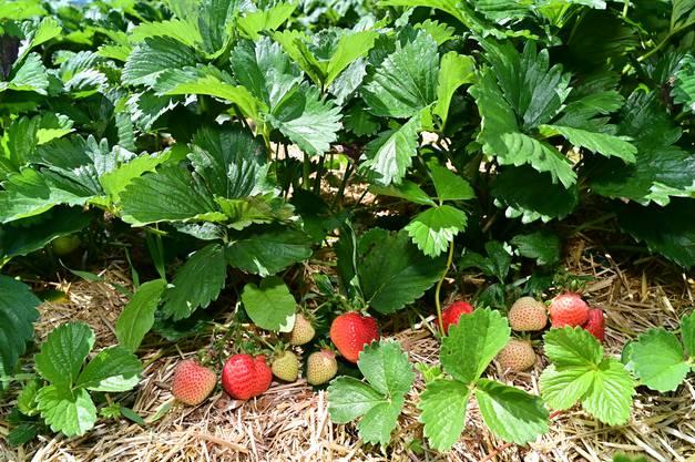 Impressionen vom Erdbeeren-Selbstpflückerfeld bei Grob Gemüsebau an der Fuchslochstrasse in Lostorf Erdbeeren Früchte Naschfrüchte Direktverkauf Landwirtschaft