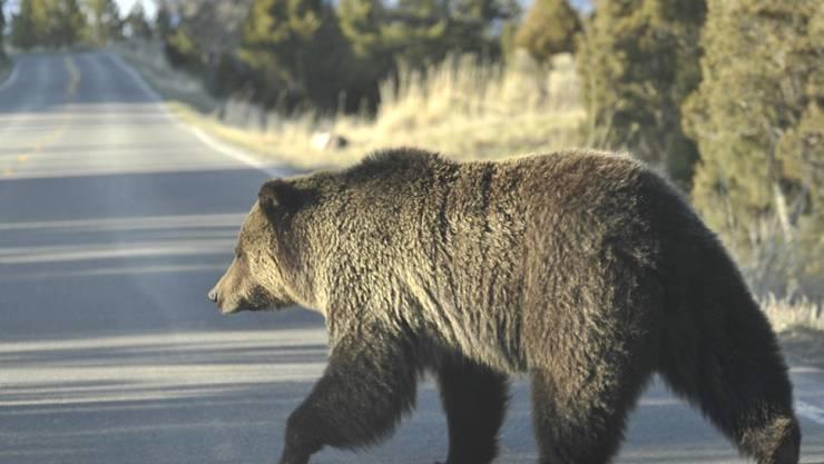 Im US-Bundesstaat Colorado spazierte ein Bär über eine Autobahn und verursachte einen schweren Unfall. (Symbolbild)