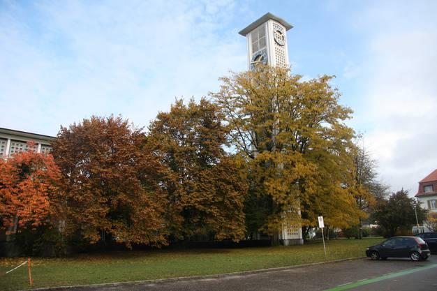 Der Christusdorn vor dem Glockenturm wird gefällt.