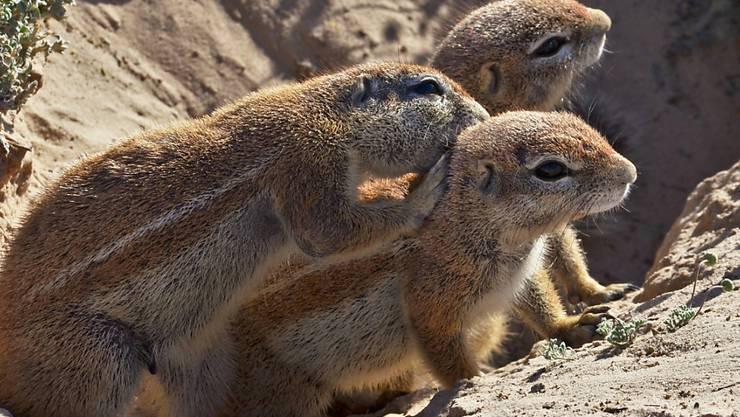 Kap-Borstenhörnchen leben im südlichen Afrika. Durch die spärliche Vegetation ihres trockenen Lebensraums haben sie wenig Orientierungspunkte wie Sträucher und Bäume. Stattdessen nutzen sie die Sonne, wie Forschende herausgefunden haben.