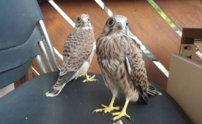 Noch nicht ganz Flugreif: zwei junge Turmalken.