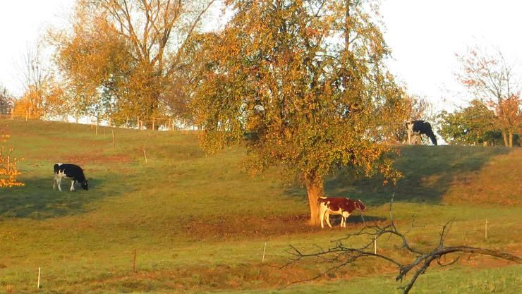 Auch die Kühe geniessen den Herbst