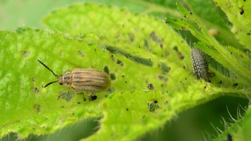 Imago und Larve von Ophraella communa auf Beifussblättrigem Traubenkraut (Ambrosia artemisiifolia, Ragweed). Viele Menschen sind auf diese Pflanze allergisch. Der Käfer hilft ihnen, indem er die Pollenproduktion des Krauts um 82 Prozent senkt (WikiCommons, rechtefrei)
