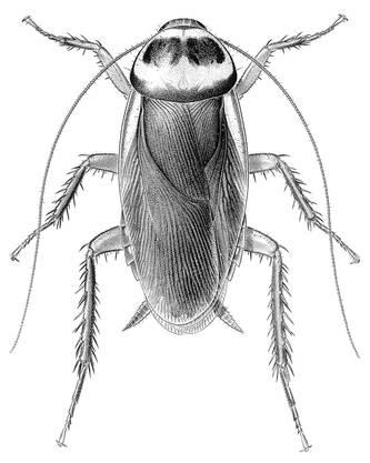 Australische Schabe (Periplaneta australasiae), Weibchen.