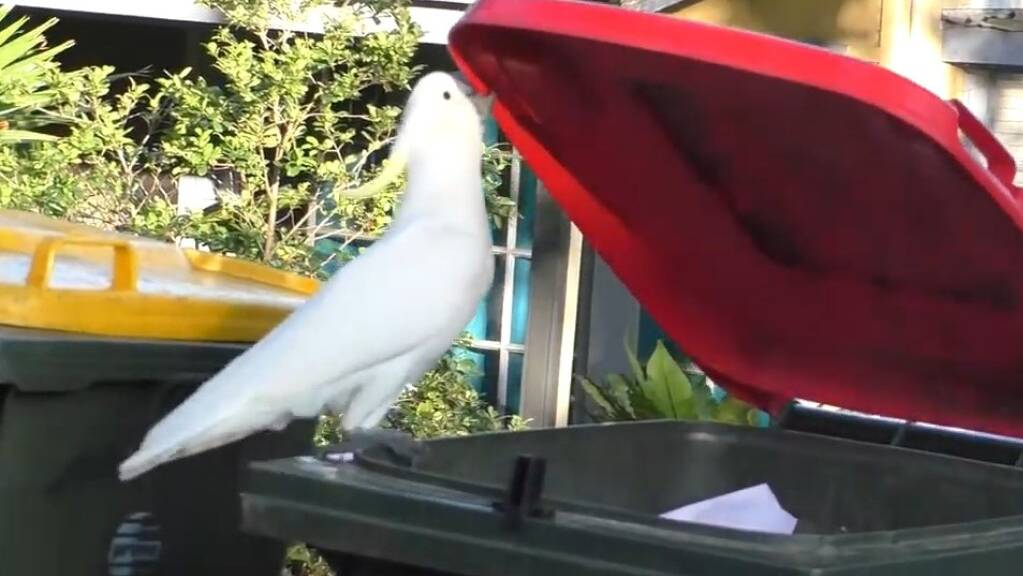 Ein Kakadu öffnet einen Abfallkübel, um sich Leckerbissen daraus zu angeln. Diese Fähigkeit breitete sich in Australien relativ schnell über ein weites Gebiet aus. Das zeigt, dass die Vögel zeitnah voneinander lernen und nicht über den Umweg der Vererbung (Screenshot YouTube).