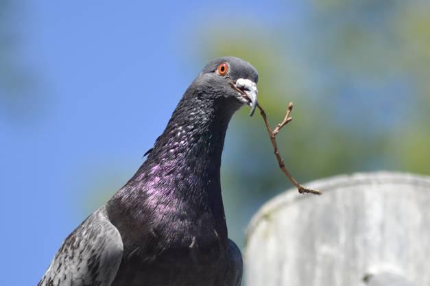 Taube beim Nestbau