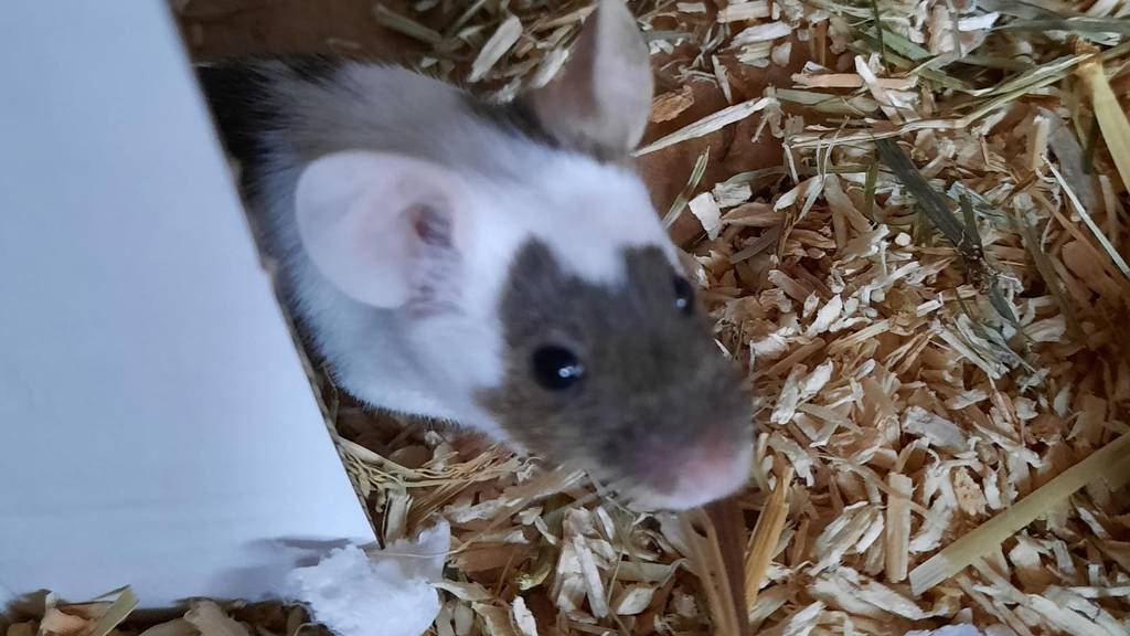 Run auf ausgesetzte Mäuse – das Interesse ist riesig