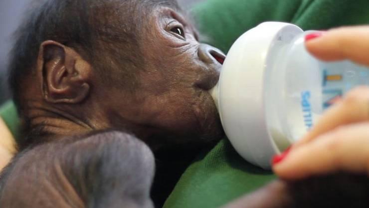 """Bei der Geburt was das Gorillababy so schwach, dass die Pfleger um sein Leben fürchteten. Mittlerweile sind sie """"vorsichtig optimistisch""""."""