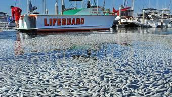 Wettlauf mit der Zeit: das Saubermachen des Hafens in Redondo Beach