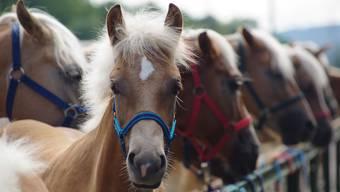 Sind das schon zu viele Pferde für einen Hobbytierhalter?
