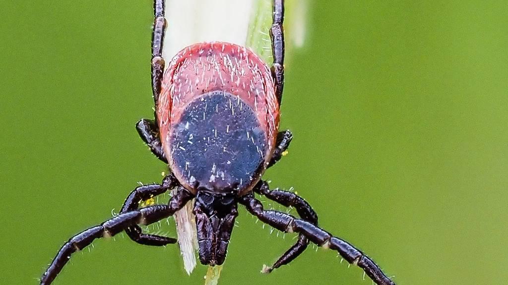 Zecke Holzbock Ixodes ricinus Weibchen unbest SG Steinach P6090885