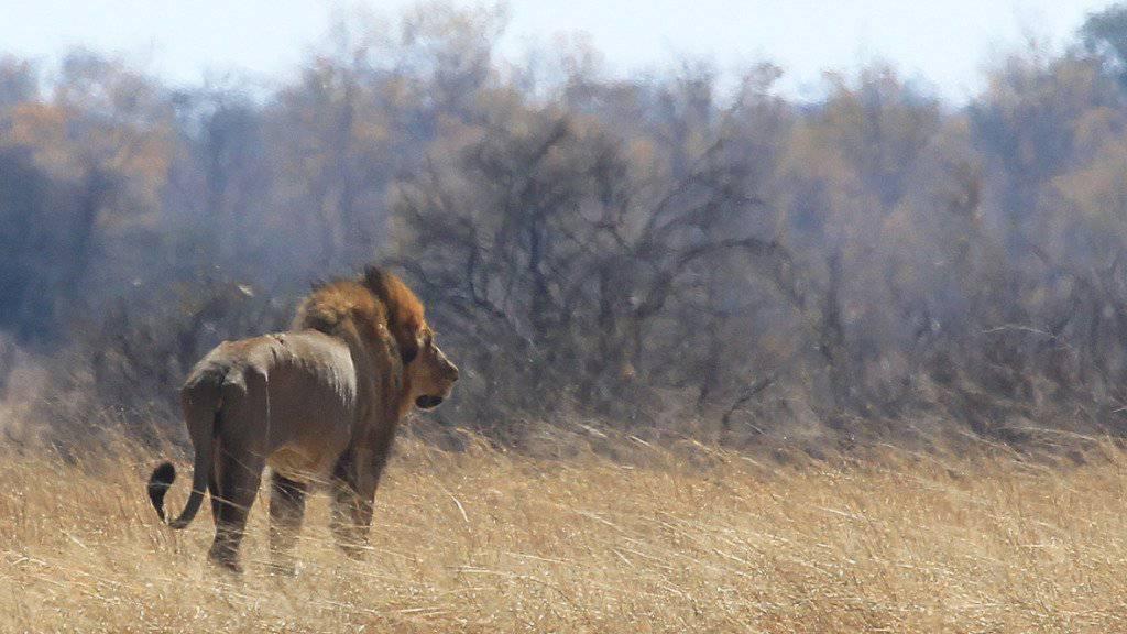 Ein Löwe im Hwange-Nationalpark in Simbabwe. (Archiv)
