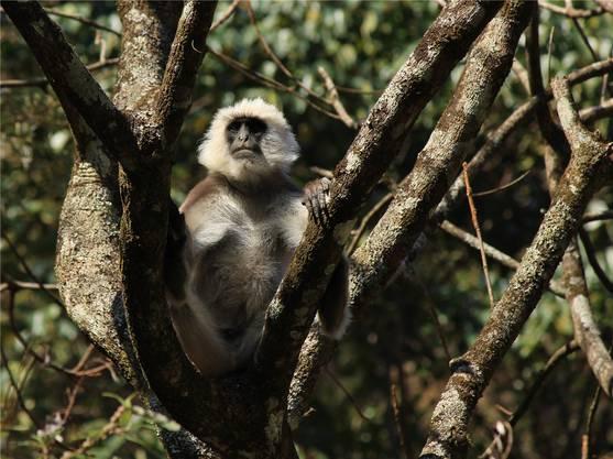 Entlang der Trekkingroute spielen Affen in den Bäumen. Etwa dieser aufmerksam dreinguckender Kletterkünstler.