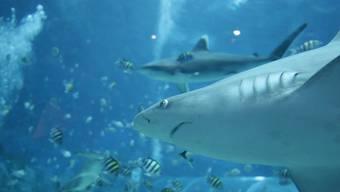 Haie werden als Raubtiere des Meeres betitelt, doch sind sie wirklich auch so gefährlich? Daniel, ein Freediver aus Australien, hat atemberaubende Aufnahmen von den Tieren gemacht, um zu zeigen, wie harmlos die majestätischen eigentlich sind.