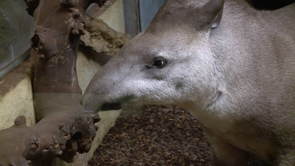 Tapir im Zoo Zürich ausgebüxt