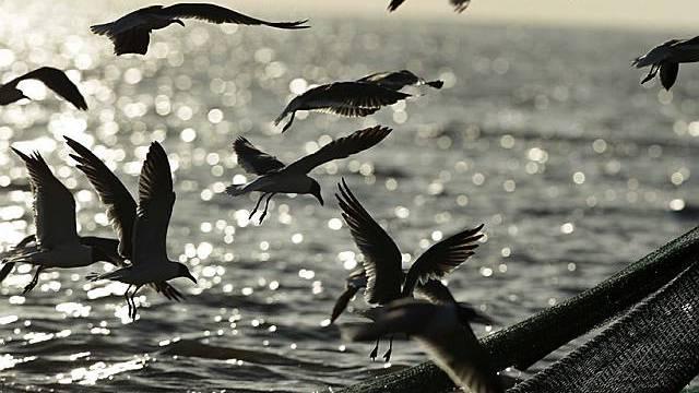 Vögel folgen einem Fischerboot bei Port Sulphur, Louisiana
