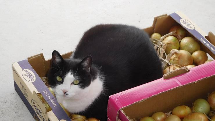 Das neuste Rezept: Katze auf Zwiebeln...