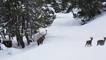 Wegen des vielen Schnees wechselten viele Hirsche in tiefere Lagen. Im Sarganserland kam es in der letzten Woche zu zahlreichen Unfälle, weil die Tiere auf der Suche nach Futter Strassen überquerten. (KEYSTONE/Gaetan Bally)