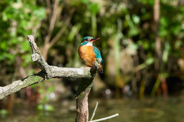 Eisvogel, Weibchen mit hellem Unterschnabel.