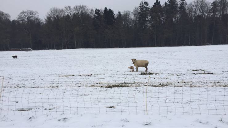 Ganz klein scheint das frischgeborene Lamm auf einer Weide in der Gunzger Allmend.