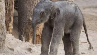 Elefantengeburt im Zoo Zürich
