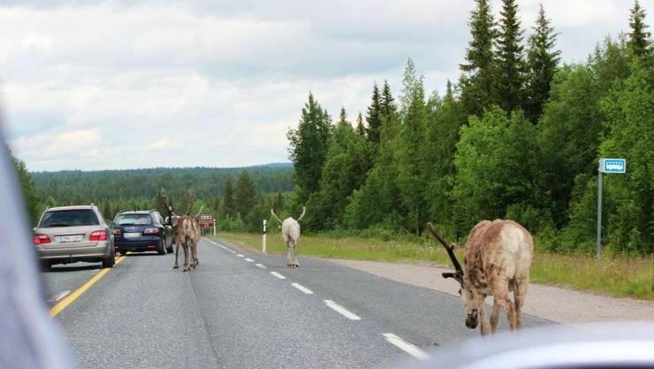 Wie auf dieser Strasse in Nordfinnland muss man auch in Norwegen immer mit Rentieren auf der Fahrbahn rechnen