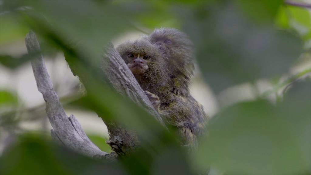 Die jüngste Attraktion des Wiener Zoos - das Zwergseidenäffchen