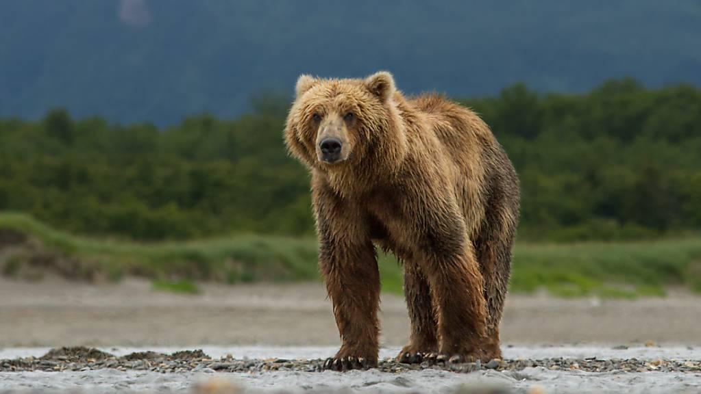Ein Bär hat in der Wildnis von Alaska während einer Woche einen Mann verfolgt. Der Mann konnte schliesslich nach einer Suchaktion gerettet werden. (Symbolbild)