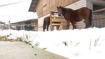 Tele M1 besuchte die Murimoos-Pferde und stellte den Geschäftsführer zur Rede.