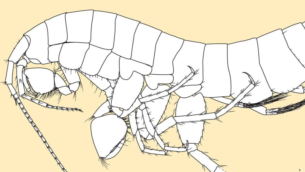 Die Flohkrebsart mit dem wissenschaftlichen Namen Niphargus aroalensis wurde in Schweizer Grundwasserproben neu entdeckt. (Pressebild)
