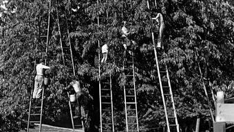 Kirschenernte in Gempen anno 1980, als erst um diese Zeit im August Hochsaison war.