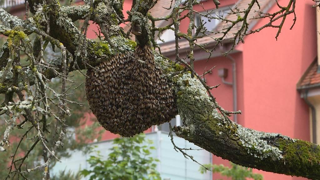 Bienenschwärme in der Stadt Zürich