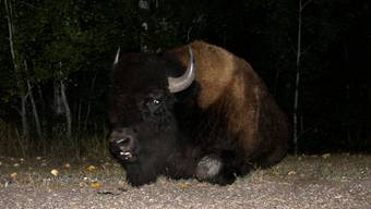 Wurde gerade von den Braders geweckt und weiss noch nicht, wie er darauf reagieren soll - friedlich oder eher weniger: Büffel im Nationalpark.