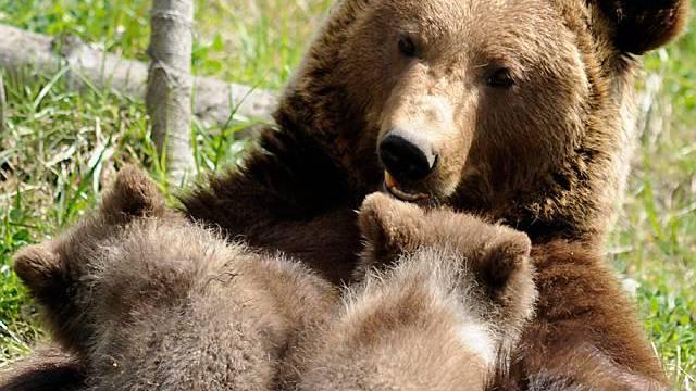 Jungbären sollen in Bern bleiben (Archiv)