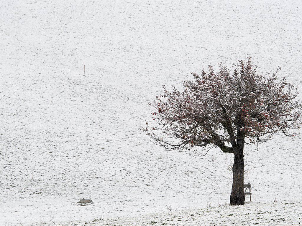 Der Apfelbaum in Sigriswil BE wurde in der Nacht auf Sonntag vom ersten Schnee erwischt. (KEYSTONE/Anthony Anex)