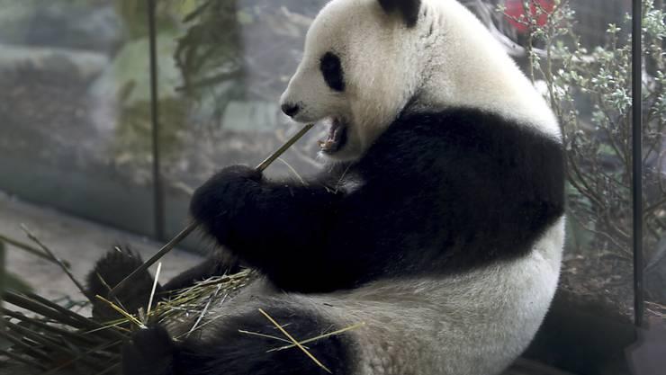 Die Pandadame Meng Meng hat in Berlin am Wochenende ihren Nachwuchs geboren. (Archivbild)