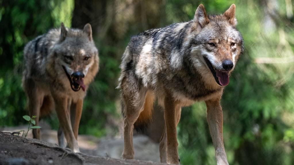 Seit mehreren Jahren fallen die Tiere des Beverinrudels dem Kanton Graubünden negativ auf. (Symbolbild)