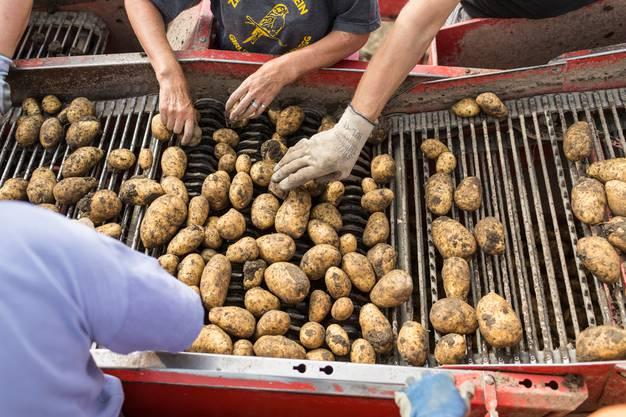 Jährlich werden in der Schweiz durchschnittlich 450'000 Tonnen Kartoffeln geerntet.