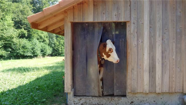 Was wollen die Lamas vor meiner Hütte?