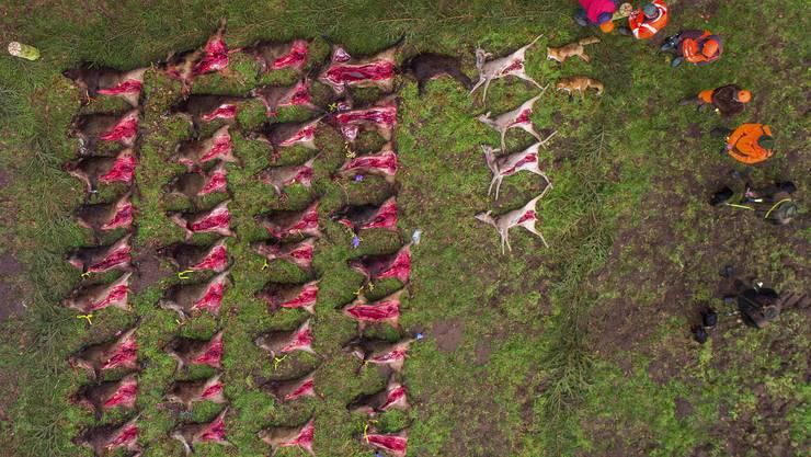 In Deutschland wurde die Jagd auf Wildschweine im Hinblick auf die Afrikanische Schweinepest verstärkt.
