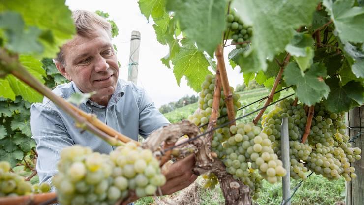 Winzer Andreas Meier, Geschäftsführer des Weinguts zum Sternen in Würenlingen, kämpft gegen den Ernteausfall.