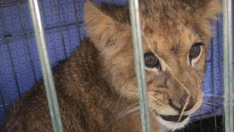 Ein Jogger fand in den Niederlanden ausgesetztes Löwenbaby.