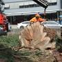 Bis die Spitze fällt: Der Badener Mammutbaum verliert Stück für Stück sein Leben.