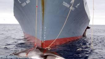 Ein japanisches Schiff fängt einen Zwergwal (Archiv)