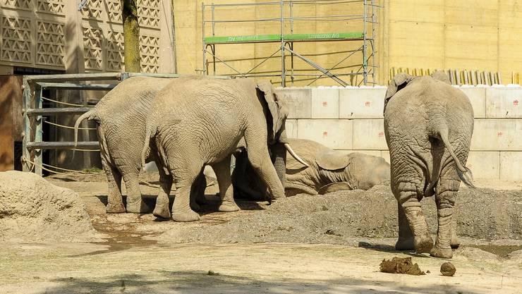 Die Elefantenkuh Malayka stürzte zu Boden nachdem sie Elefantenfreundin Heri schubste.