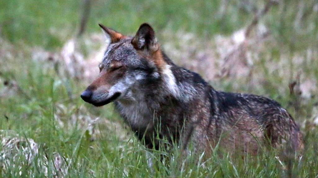 Nach Appenzell auch Urnäsch: Wolf reisst weitere Schafe